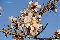 Flor de Almendro - panoramio - mateu mulet.jpg