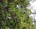 Flora of Israel IMG 8393 (13442712133).jpg