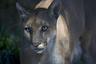 Everglades National Park - About 160 Florida panthers inhabit hammocks and pinelands of the Everglades.