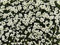 Flower.2331.JPG