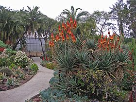 Flowering Aloe in the desert garden.jpg