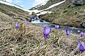 Flowers of Jablanica Mountain, Struga 12.jpg