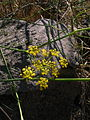 Foeniculum vulgare 2 Sos Alinos Rural 16072014 40.437, 9.767.jpg
