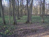 Forêt de Sénart - Jonquilles.jpg
