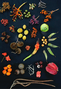 The diverse forest canopy on Barro Colorado Island, Panama, yielded this display of different fruit Forest fruits from Barro Colorado.png