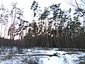 Forest in January in Western part of Kyiv.jpg