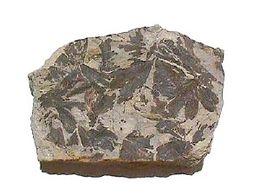 מאובן של צמח הגניקגו לא עבר מוטתיות 150 מליון שנה. ויקיפדיה