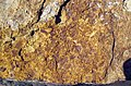 Fossiliferous sandstone (Vinton Member, Logan Formation, Lower Mississippian; Hanover Pit, Licking County, Ohio, USA) 8 (47561072341).jpg