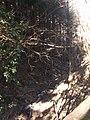 Fosso parzialmente gelato nella pineta dei Pianacci - panoramio.jpg