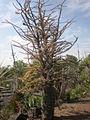 Fouquieria fasciculata 1c.JPG
