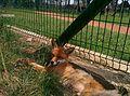 Fox in Berezinsky Biosphere Reserve.jpg