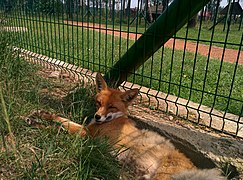 Fox in Berezinsky Biosphere Reserve