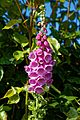 Foxglove 'Digitalis' at Boreham, Essex, England.jpg