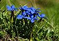 Frühlings Enzian Gentiana verna 08.JPG