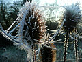 Frosty teasel with spiders webs.jpg