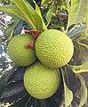 Fruit de l'arbre à pain ou uru.jpg
