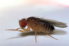 fruit flies wiki blue fruits