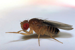 Drosophilidae - Image: Fruit fly 5