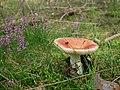 Fungi, gmina Tuczno (4).jpg
