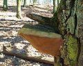 Fungi of Promno LP (2).jpg