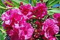 GR-mykonos-oleander-gefuellt.jpg