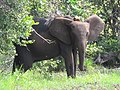 Gabon Loango National Park Elephant with GPS tracker fitted.jpeg