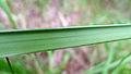 Gahnia aspera leaf underside (15495846534).jpg