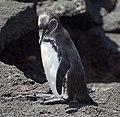 Galapagos Penguin (32833346357).jpg