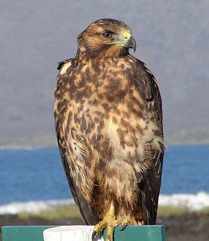 Galapagos hawk - Juvenile