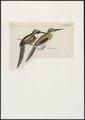 Galbula leucogaster - 1820-1863 - Print - Iconographia Zoologica - Special Collections University of Amsterdam - UBA01 IZ16800377.tif