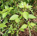 Galeopsis speciosa NO guldaa IMG 3345 mandal risöbank.JPG