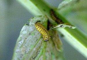 Galerucella calmariensis - Black-margined loosestrife beetle larva