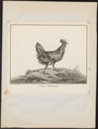 Gallus ferrugineus - 1767 - Print - Iconographia Zoologica - Special Collections University of Amsterdam - UBA01 IZ17000276.tif