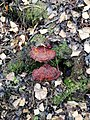 Ganoderma lucidum 98892102.jpg