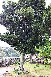 Garcinia subelliptica (200703)