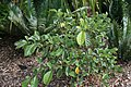 Gardenia coronata 2zz.jpg