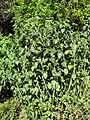 Gardenology.org-IMG 2313 hunt08sep.jpg