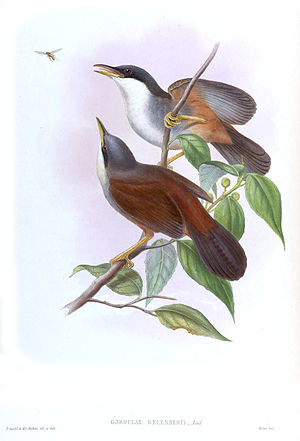 Wynaad laughingthrush - Illustration by John Gould