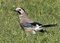 Garrulus glandarius - Eurasian Jay 01.jpg