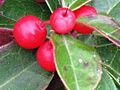 Gaultheria procumbens 2.JPG