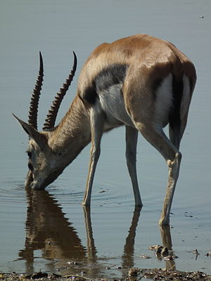 Gazella thomsonii Thomsons Gazelle in Tanzania 3592 cropped Nevit.jpg