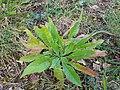 Gele Bloom 1 an'n Bullenbarg bi Nindörp 08.jpg