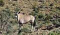 Gemsbok (Oryx gazella) male ... (50166989547).jpg