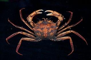 <i>Geryon trispinosus</i> species of crustacean