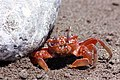 Ghost Crab Osa.JPG