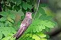 Giant Hummingbirds (7426017012).jpg