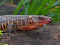 Giant Plated Lizard (Gerrhosaurus validus) close-up (11625270746).jpg