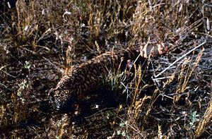 Sasabe, Arizona - Gila Monster, Buenos Aires National Wildlife Refuge