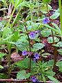 Glechoma hederacea Bobrovnya2.JPG