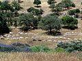 Goats herd in Nahal Hashiva (10).JPG